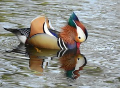Mandarin duck (Drake) (PhotoLoonie) Tags: mandarinduck mandarindrake duck wildlife nature reflection waterreflection feathers colours colourfull