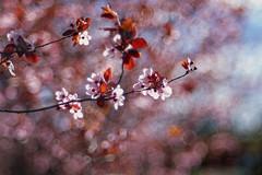 Cherry blossom in Trioplan (pedro4d) Tags: cherry blossom bokeh dof nikon f90 meyeroptik trioplan 10028 agfa ultra 100 expired film analog polska poznań winogrady poland nature wiosna spring