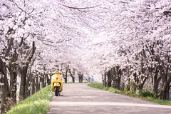 Sakura×Vespa (のの♪) Tags: 桜 桜並木 sakura vespa pink yellow 黄色 桃色 朝 morning
