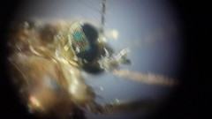 Housefly Microscopic Images (Spacetime Web) Tags: mosquito microscope housefly compound eye biology diy homemade