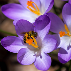 Honey Bee (Bob90901) Tags: honeybee portland maine crocus bees flowers insects light color spring afternoon rpg90901 canon 6d canonef70200mmf28lisiiusm canon70200f28lll macro pollen 2017 april 1226