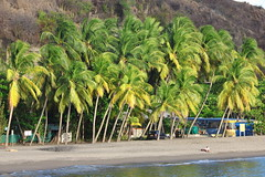 Cocotiers. (Michel PRESENT) Tags: cocotiers lecarbet martinique plage mer seaside sea vert green