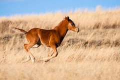 _MG_0858 - Fast.   ©Jerry Mercier (jerry mercier) Tags: nature outdoors outdoor outside beauty jerrymercier mercier colorful color blue bluesky best canon photos baby foal foals run running plains grass grassy yellow gold young wildhorses wildhorse equuscaballus feral west western north dakota northdakota theodorerooseveltnationalpark chestnut brown fast freedom horse horses