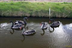 CDD2535 (Fransang) Tags: zwarte witte zwanen loosterweg voorhout lisse black swans white