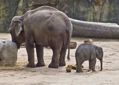 Moma # 3 (schreibtnix on 'n off) Tags: deutschland germany köln cologne zoo tiere animals säugetiere asiatischerelefant asianelephant elephasmaximus jungtier younganimal moma olympuse5 schreibtnix