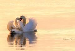 i n c o n t r i (swaily ◘ Claudio Parente) Tags: maremma maremmans lago lake sunshine capalbio oasiwwf lagodiburano lagoburano toscana tuscany nikon swaily claudioparente cigni amore lucelove