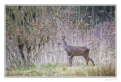 Clara Roe (Seven_Wishes) Tags: newcastleupontyne canoneos5dmarkiv canonef100400mmf4556lisii canonef14xiiiextender photoborder outdoor hm claravale wildlife nature animal deer roedeer dof depthoffield