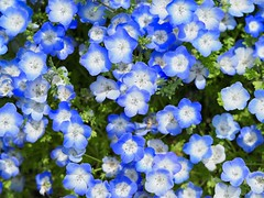 Small flowers (dayonkaede) Tags: small flowers nature nemophila blue landscape olympus em1markii m40150mm f28 mc14