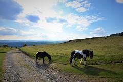 JRJ_6666 (jjay69) Tags: dartmoor holiday britain uk devon cornwall england airbnb easter lydford outdoors outdoor moors moorland barren rural countryside peaceful wild dartmoorpony ponies horse pony animal farm wilderness whitetor