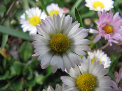 ...and more daisies.... (elisabeth.mcghee) Tags: weiss white rot red daisy daisies plant pflanze flower blume
