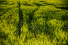 Osservare  un campo di grano che deve maturare, alimenta la giovinezza e rallegra la vecchiaia