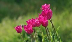 Tulipes rose vif (mamietherese1) Tags: ngc world100f phvalue abigfave