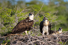 Mama and two juvenile Osprey (Ed Rosack) Tags: usa osprey 25hawkskiteseaglesandallies bird bluecypresslake centralflorida nest young ©edrosack florida immature juvenile nesting ospr pandionhaliaetus verobeach