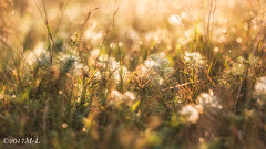 Morgentau (Mich_Lu) Tags: pflanzen wiese morgentau gegenlicht