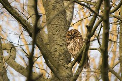 Tawny Owl (Strix aluco) (PeterBrooksPhotography) Tags: strixaluco bird birdofprey d5200 eastsussex nikon peterbrooksphotography portrait sigma120400 sussex tawnyowlstrixaluco uk wildlife forest habitat owl perched raptor tree trees wild ©peterbrooks