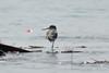 Terek Sandpiper (Saleh Reza) Tags: bird pakhi university ru nature padma river rajshahi bangladesh