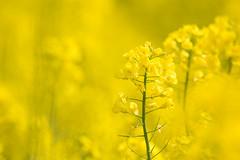 yellow - Olympus OM-D E-M1 (Andreas Voegele) Tags: olympus olympusomd olympusomdem1 omd em1 andreasvoegelephoto flower bokeh light shine search olympusem1 omdem1