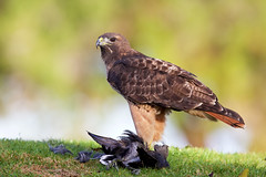 Red-tailed hawk (Thy Photography) Tags: redtailedhawk outdoor california hawk birdofprey animal raptor prey nature photography wildlife
