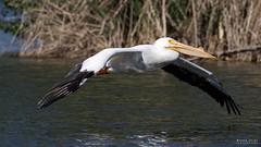 Flyby (noellejorge) Tags: avian wild waterfowl lake whitebird bigbird bird americanwhitepelican pelican