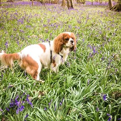 Photo of Puppy ?? on bluebells
