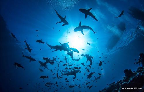 GreyReef Sharks © Aaron Wong