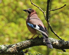 Jay (4). (ronalddavey80) Tags: bird jay canon eos70d tamron 70300mm sunny tree