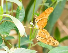 JM foto75-139 (janetankersmit) Tags: 2017 vlinders vlindertuin zutphen