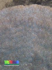 Bracket mushroom coral (Podabacia sp.) (wildsingapore) Tags: nature island marine singapore underwater wildlife coastal shore intertidal seashore pulau marinelife semakau cnidaria wildsingapore scleractinia fungiidae podabacia