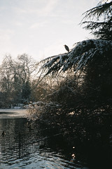 Heron (Steeeve Messer) Tags: park blue winter sun snow color colour london film analog 35mm low steve messer analogue press battersea yashica steamy t4 steeeve renegatus brokebroadbeat