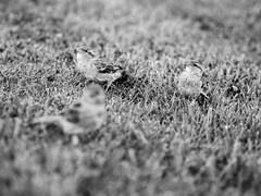 Sparrows (mariuslinauskas) Tags: bird olympus f18 45mm nida lithuania omd mzd em5