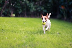 (nmastoras) Tags: dog pet pets cute dogs animal animals jack jrt russell action naturallight terrier freeze jackrussell jackrussellterrier