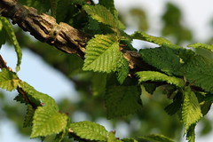 English Elm Bark and Leaves (Andy.Harper) Tags: english leaves bark elm ulmus