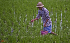 Rice farmer #4 (Ausamah) Tags: old travel sky bali woman man reflection green art love water girl beautiful field indonesia temple photography bahrain paradise child gulf rice julia farmers terrace farm pray grow scene arabic eat national arab roberts arabian agriculture hindu indonesian geographic peasant balinese ausamah alabsi