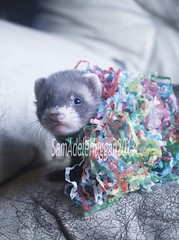 Party Popper Kit (SamAdele) Tags: pet baby cute animal ferret adorable kit