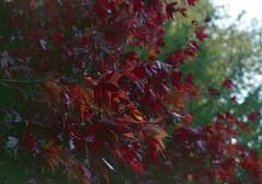 . (dichohecho) Tags: trees red film analog japanesemaple acer analogue pentaxmesuper fujisuperia400 westonbirtarboretum ubuphotosoc roll59 dichohecho
