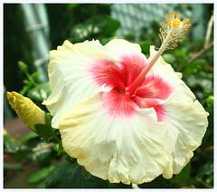 Hibiscus (saniradi) Tags: flora tamron2875mm niceflower canon500d flowerdome gardensbythebay