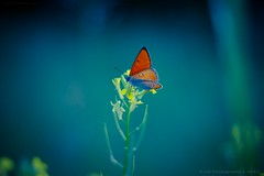 Dancing Butterfly (icemanphotos) Tags: flowers blue red flower colors beautiful butterfly interesting bokeh magical bokehlicious icemanphotos