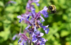 Bee Yourself (Jackie O. Photography) Tags: ohio summer plants black flower nature yellow spring purple outdoor bees insects arboretum bee honey pollen holden purples kirtland blakc