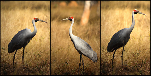 3 Faces of Brolga