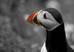 Puffin (chris-rice) Tags: bird beach animal wildlife puffin shetland