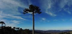 Panorama Piedra del Águila (Mono Andes) Tags: chile panorama araucaria araucariaaraucana parquenacional chilecentral regióndelaaraucanía parquenacionalnahuelbuta piedradeláguila cordilleradenahuelbuta