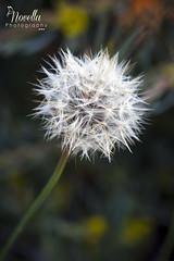 Dandelion (Novella Photography) Tags: flowers flower macro weed dandelion makeawish