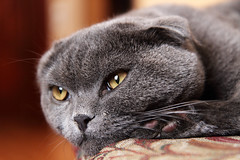 Scottish Fold (TauronNA) Tags: cat scottishfold efs1755 canon7d