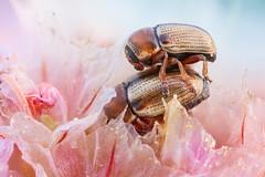 Minute Fall Beetles (johnhallmen) Tags: macro insect naturallight portfolio coleoptera chrysomelidae cryptocephalus canonmpe65 canon5dmkii zerenestacker
