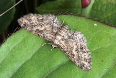 Maple Pug. (Eupithecia inturbata) (Garry Barlow) Tags: pugmoth eupitheciainturbata maplepug