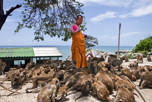 Feeding frenzy monkeys in Hua Hin, Thailand