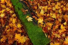 IMG_2051 (stephenb19) Tags: wood november autumn trees winter tree fall halloween leaves forest scotland leaf woods october september foliage castlekennedy