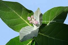 Calotropis gigantea (Kelley Macdonald) Tags: pinkflower apocynaceae swallowwort calotropis calotropisgigantea crownflower giantmilkweed giantcalotrope