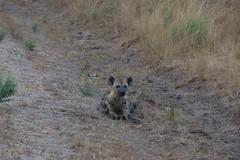 Hyena (Inklaar) Tags: africa summer zomer afrika uganda hyena laughinghyena crocutacrocuta crocuta spottedhyena queenelizabethnationalpark oeganda 2013 hyaenidae westernregion ishasha gevlektehyena p7700 nikonp7700 inklaar:see=all kinkiizi