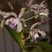 Cattleya loddiglossa 'Blues' x Cattleya leopoldii var. coerulea – Alex Nadzan